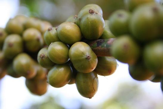 coffee-plant-beans