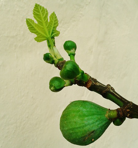 'And the stars of the sky fell to the earth as the fig tree sheds its winter fruit when shaken by a gale.'  - Rev 6:13